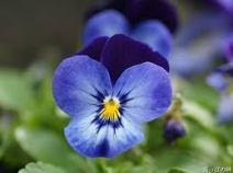 violet-oval